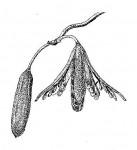 Entandrophragma caudatum