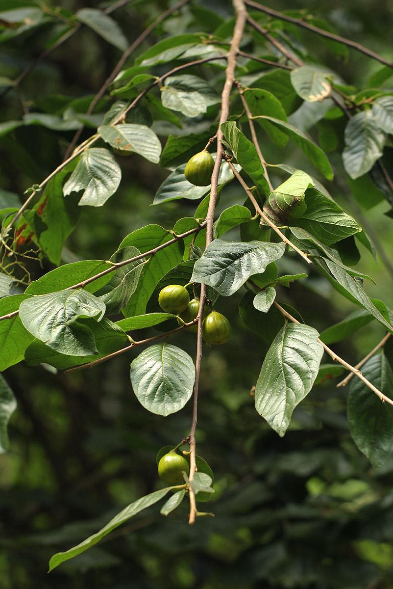Turraea floribunda