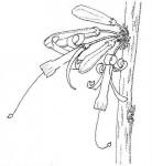 Turraea nilotica