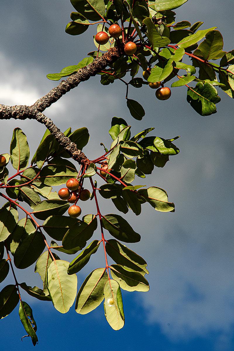 Ekebergia benguelensis