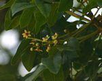 Ekebergia capensis