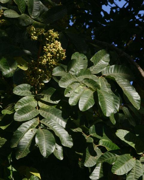 Trichilia emetica subsp. emetica