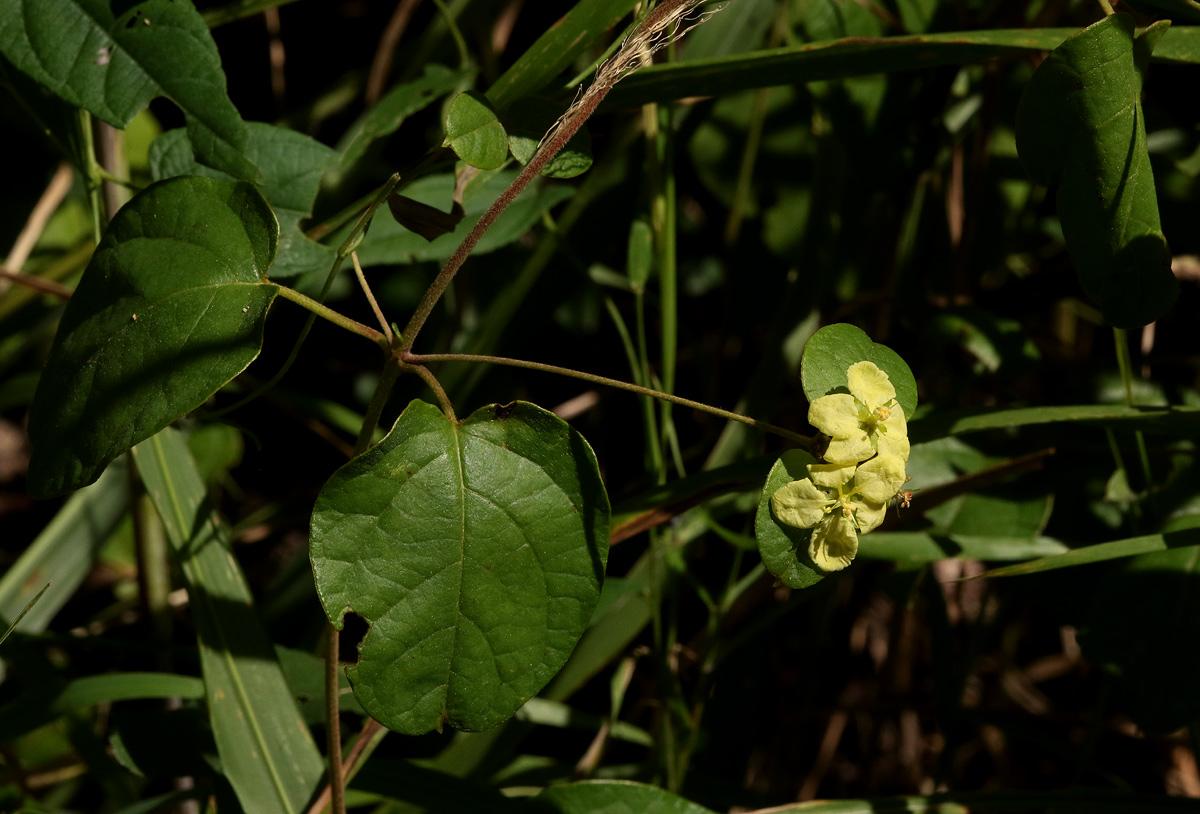 Sphedamnocarpus pruriens var. pruriens