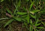 Polygala albida subsp. albida