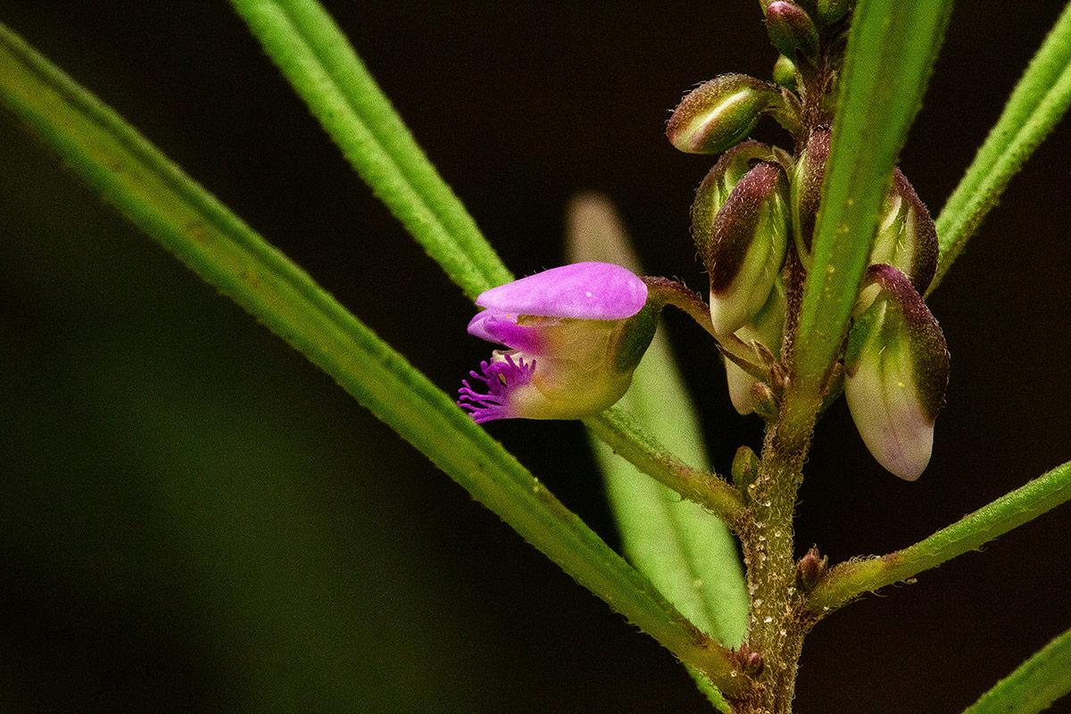 Polygala albida subsp. stanleyana