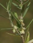 Polygala erioptera subsp. erioptera