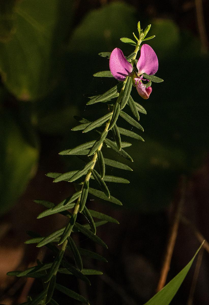Polygala gazensis
