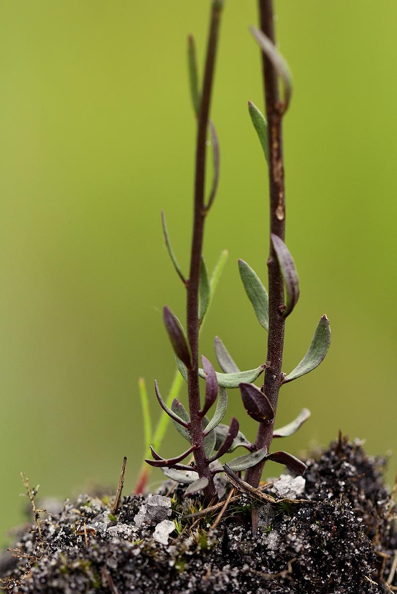 Polygala spicata