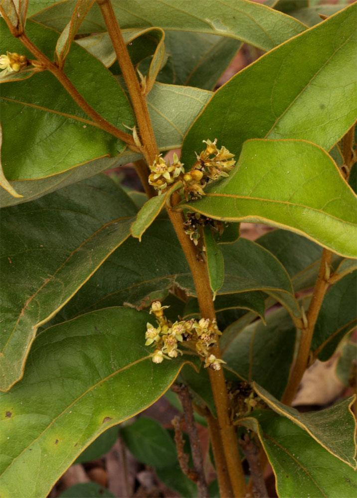 Dichapetalum rhodesicum