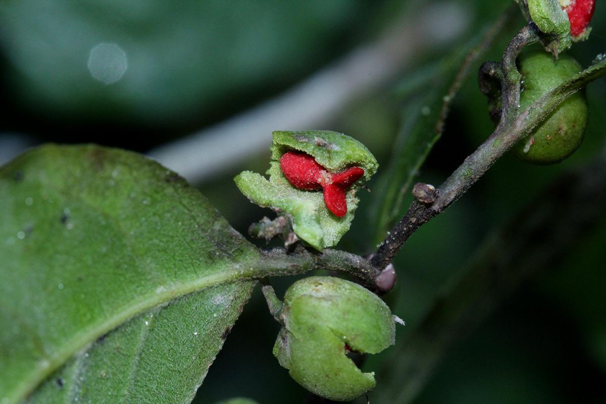 Tapura fischeri var. pubescens