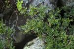 Phyllanthus bernierianus var. glaber