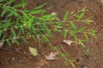 Phyllanthus maderaspatensis