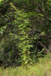 Phyllanthus myrtaceus