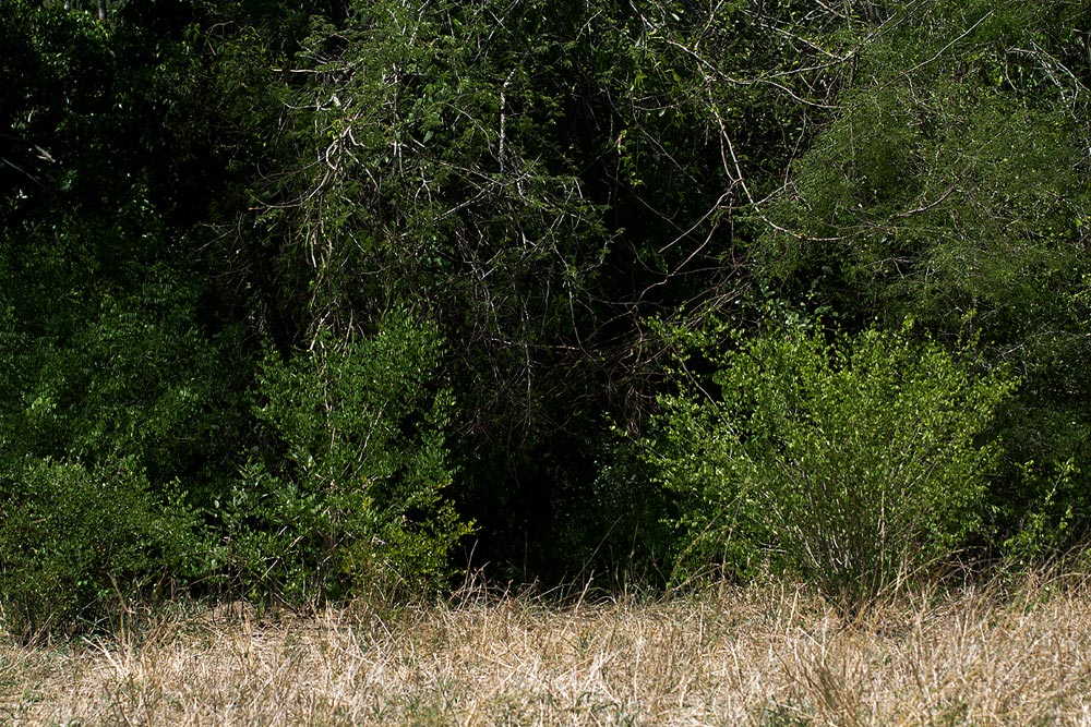 Phyllanthus pinnatus