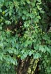 Phyllanthus reticulatus var. reticulatus