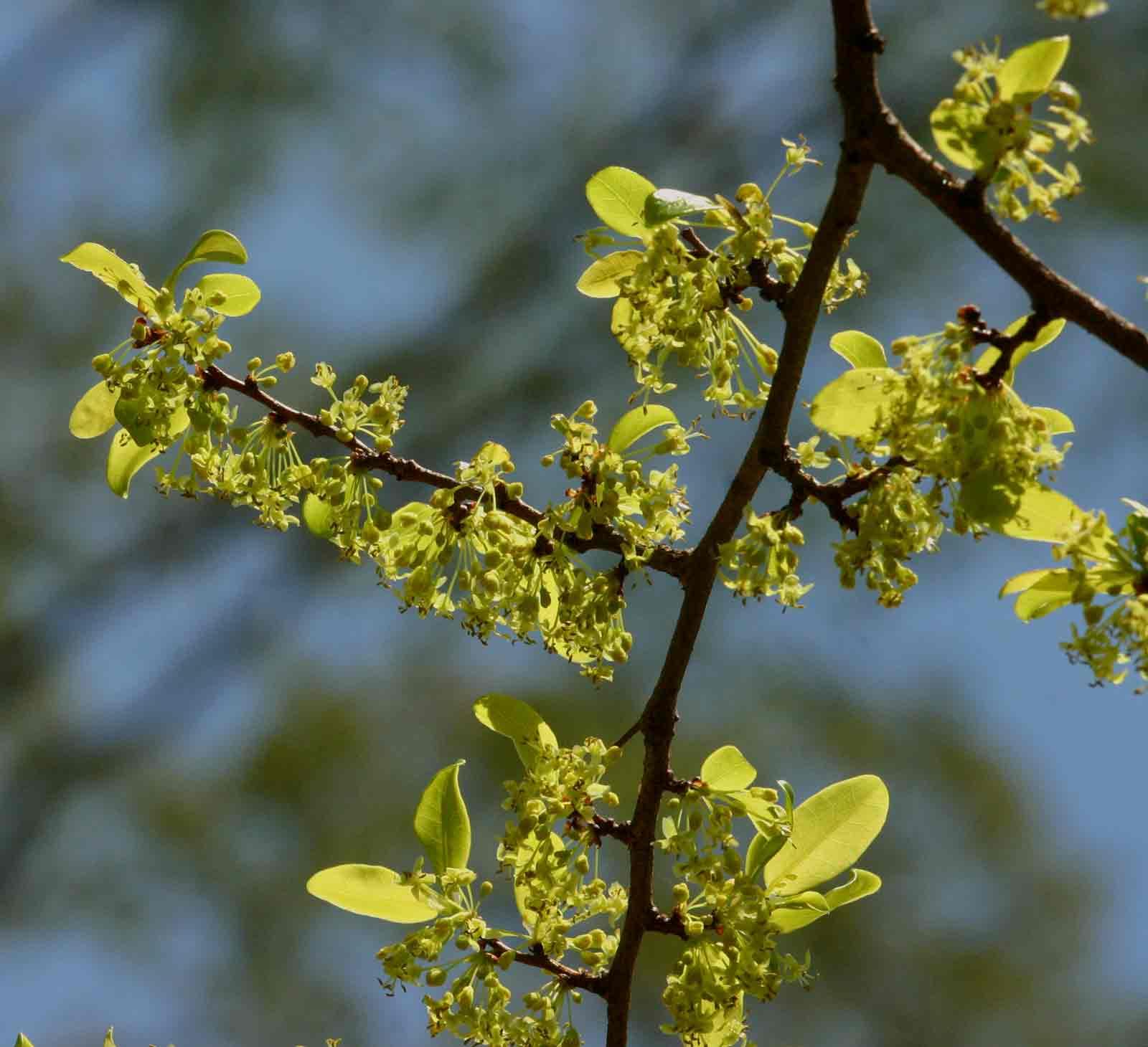 Margaritaria discoidea var. nitida