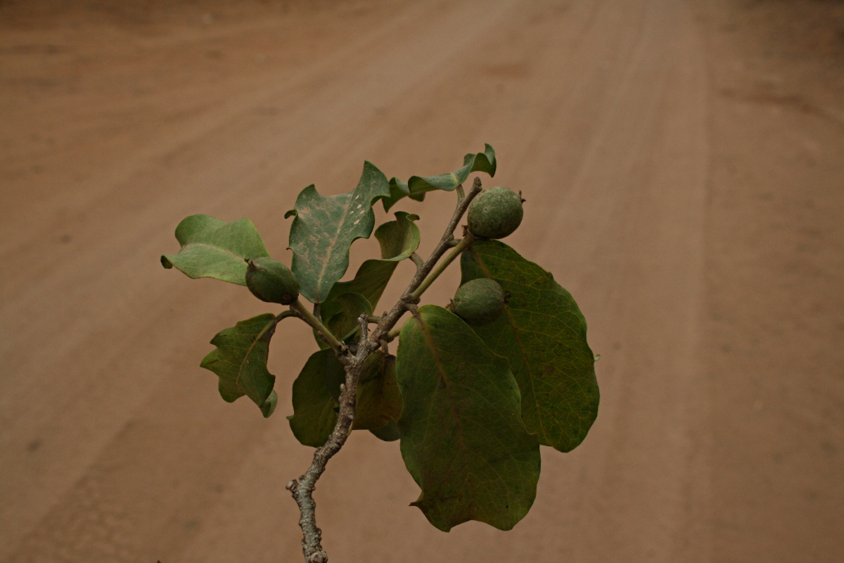 Drypetes mossambicensis