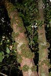 Drypetes natalensis var. natalensis