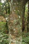 Uapaca sansibarica