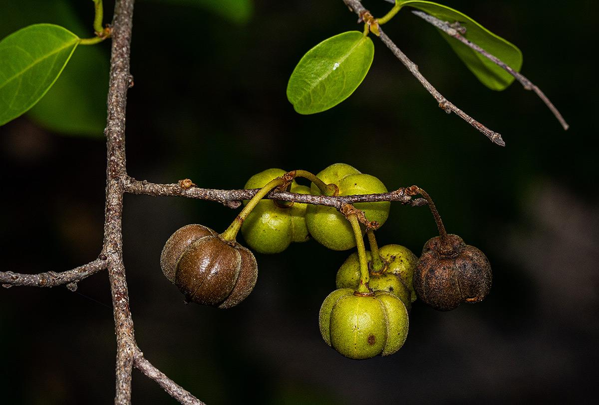 Cleistanthus schlechteri var. pubescens