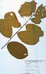 Bridelia mollis
