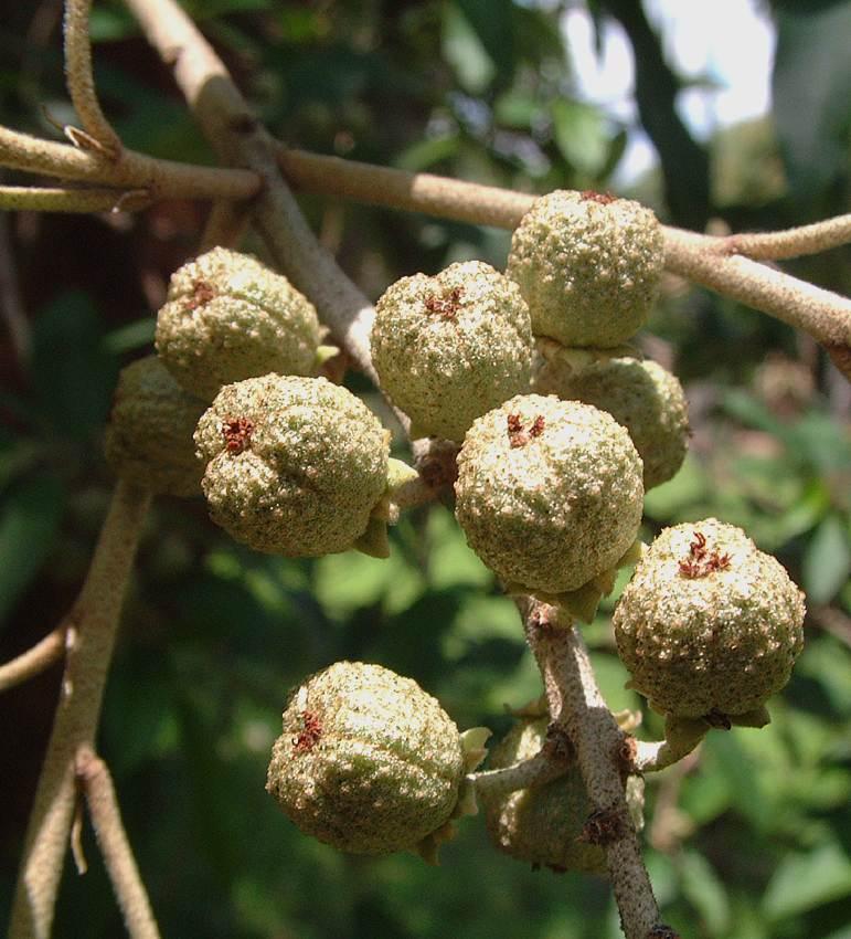 Croton gratissimus var. gratissimus