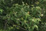 Croton leuconeurus subsp. leuconeurus