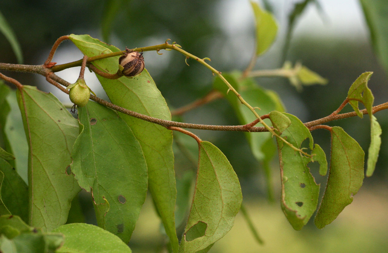 Croton longipedicellatus var. longipedicellatus