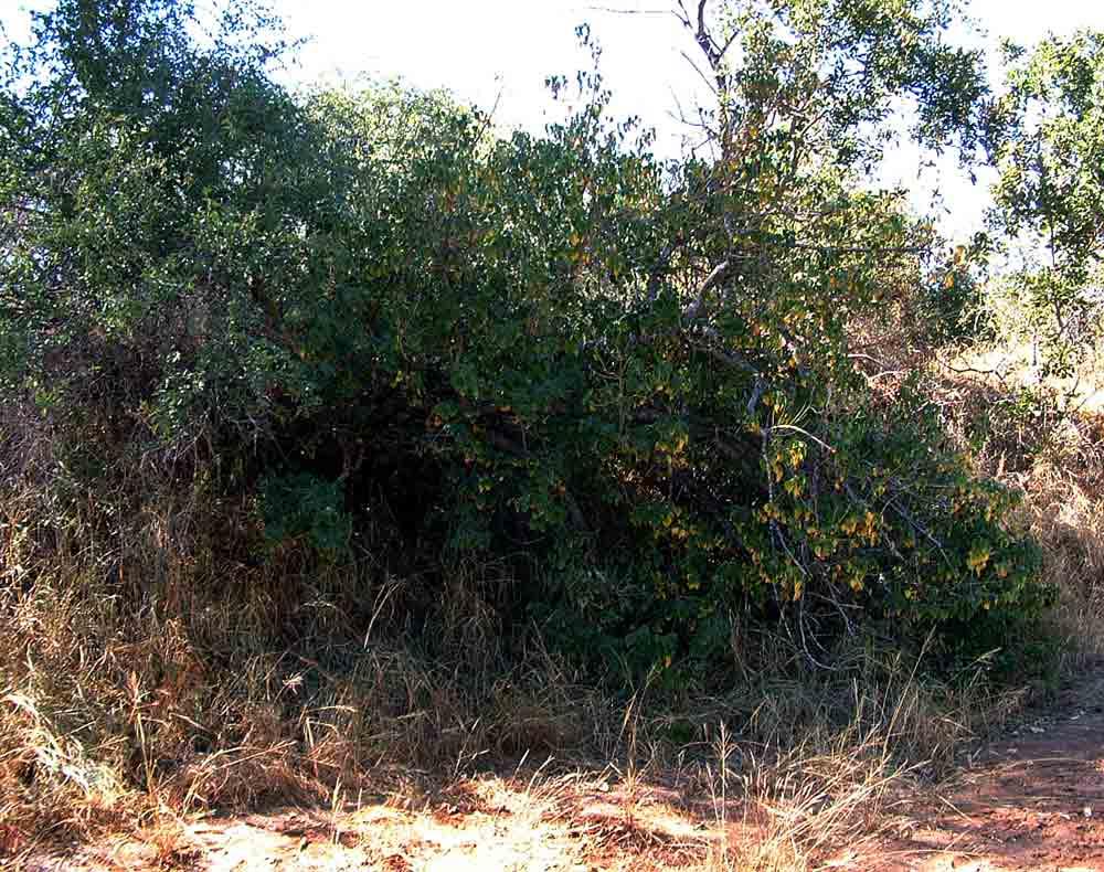 Croton megalobotrys