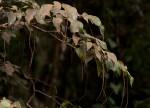 Tannodia swynnertonii