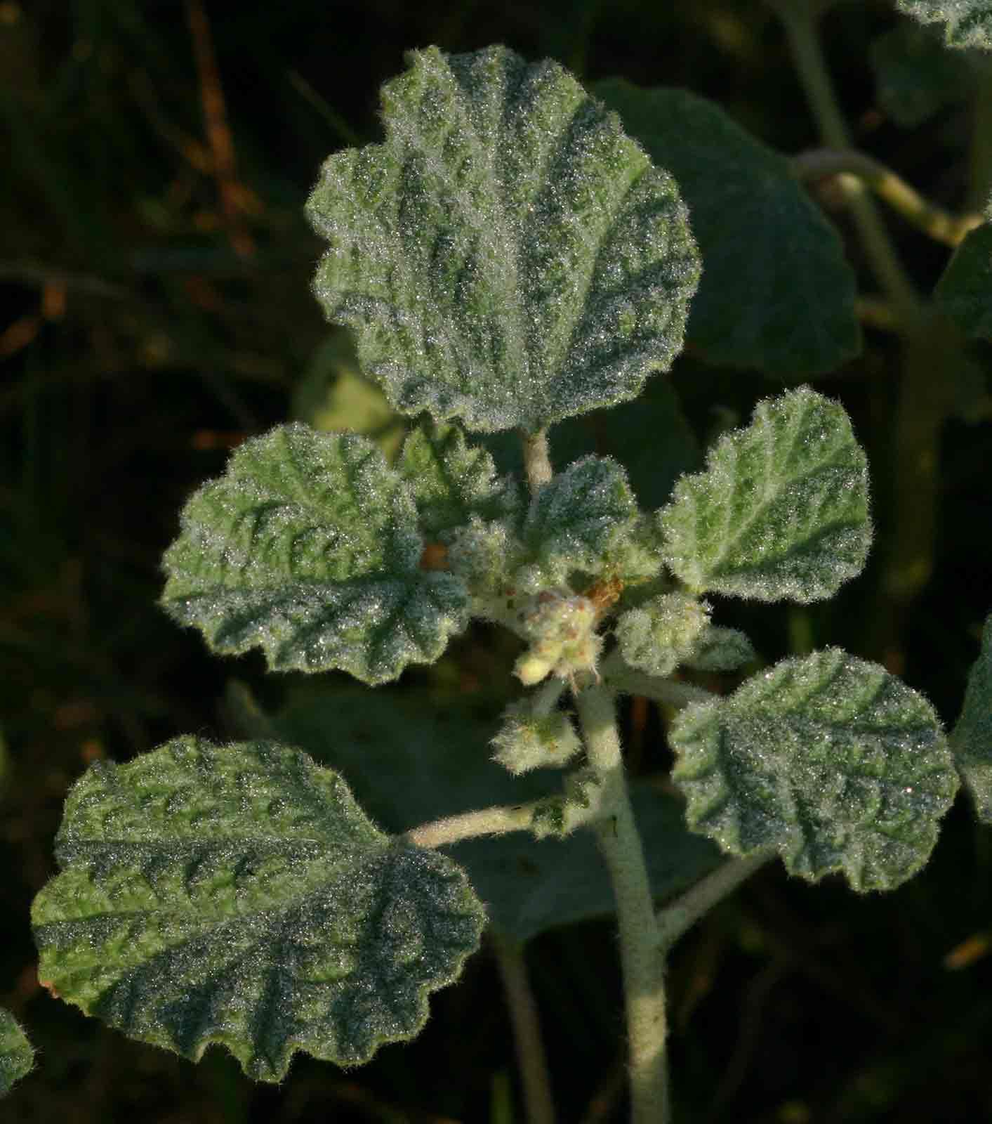 Chrozophora plicata