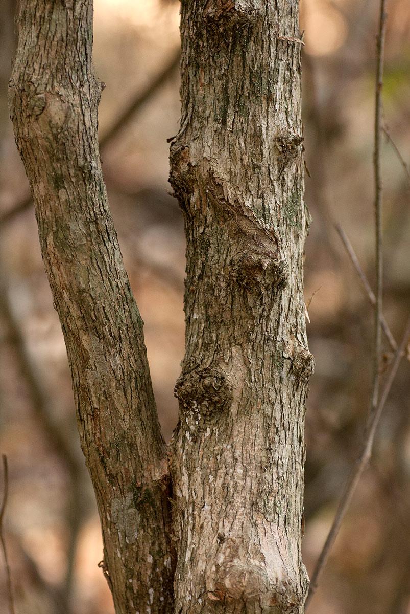 Alchornea laxiflora