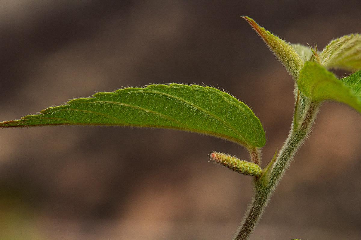 Acalypha chirindica