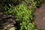 Acalypha segetalis