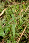 Acalypha brachiata
