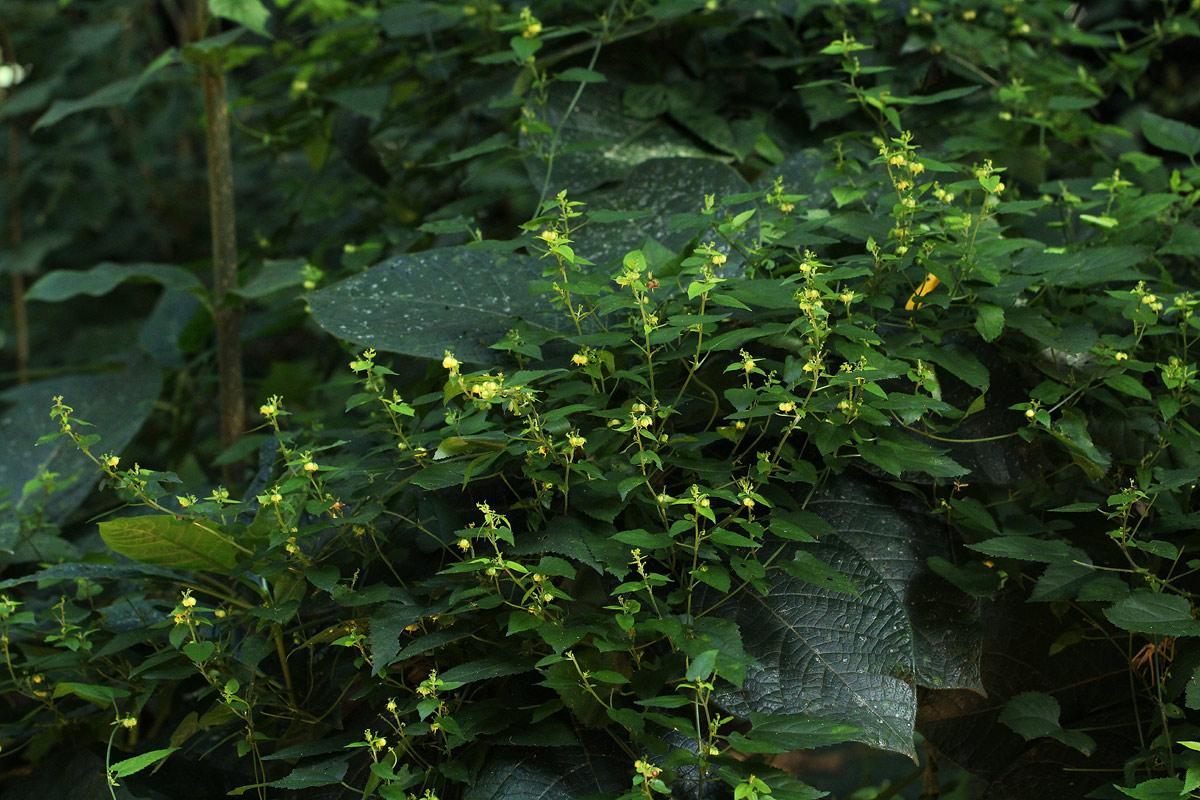 Tragiella natalensis