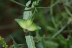 Plukenetia africana