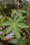 Ricinus communis var. communis
