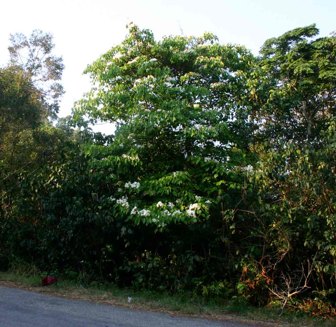 Vernicia montana