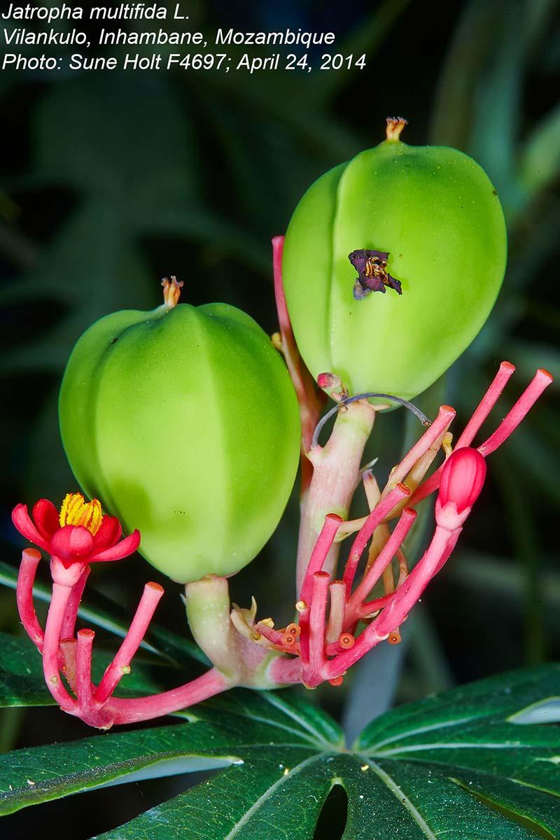 Jatropha multifida