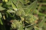 Cephalocroton mollis