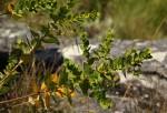 Clutia sessilifolia