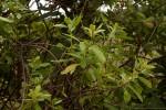 Clutia swynnertonii