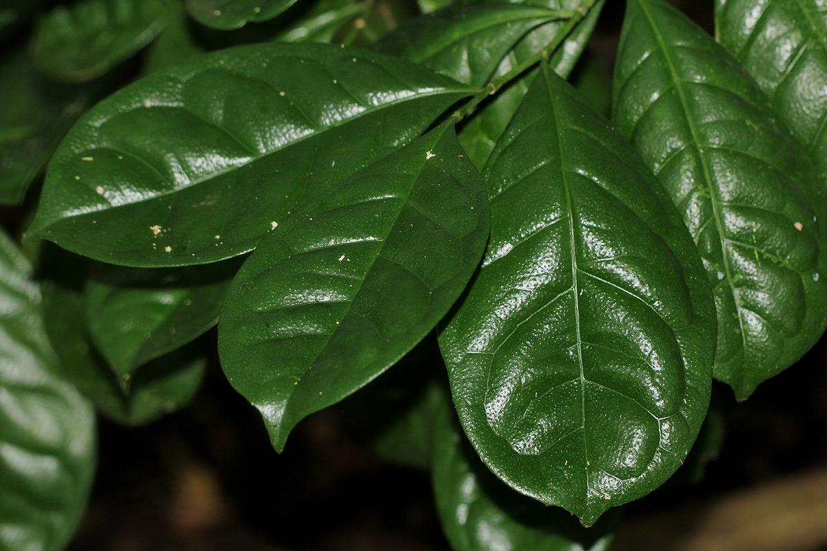 Suregada zanzibariensis