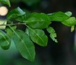 Spirostachys africana