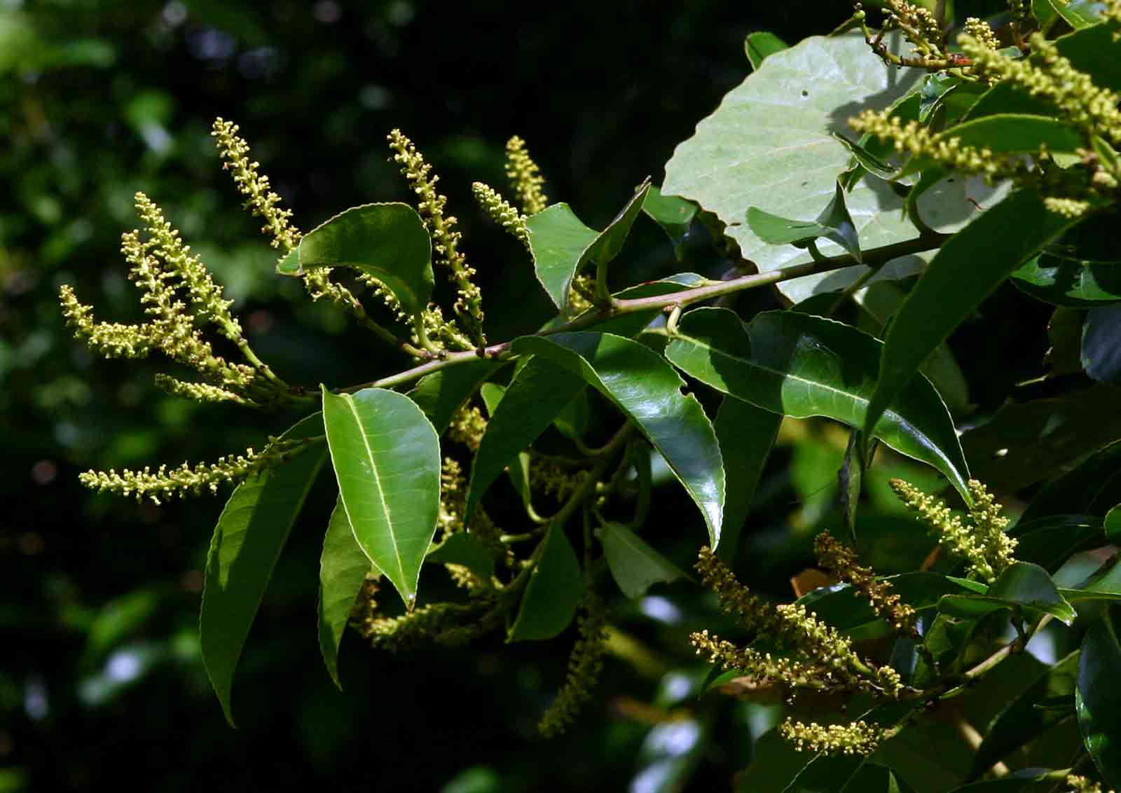 Shirakiopsis elliptica