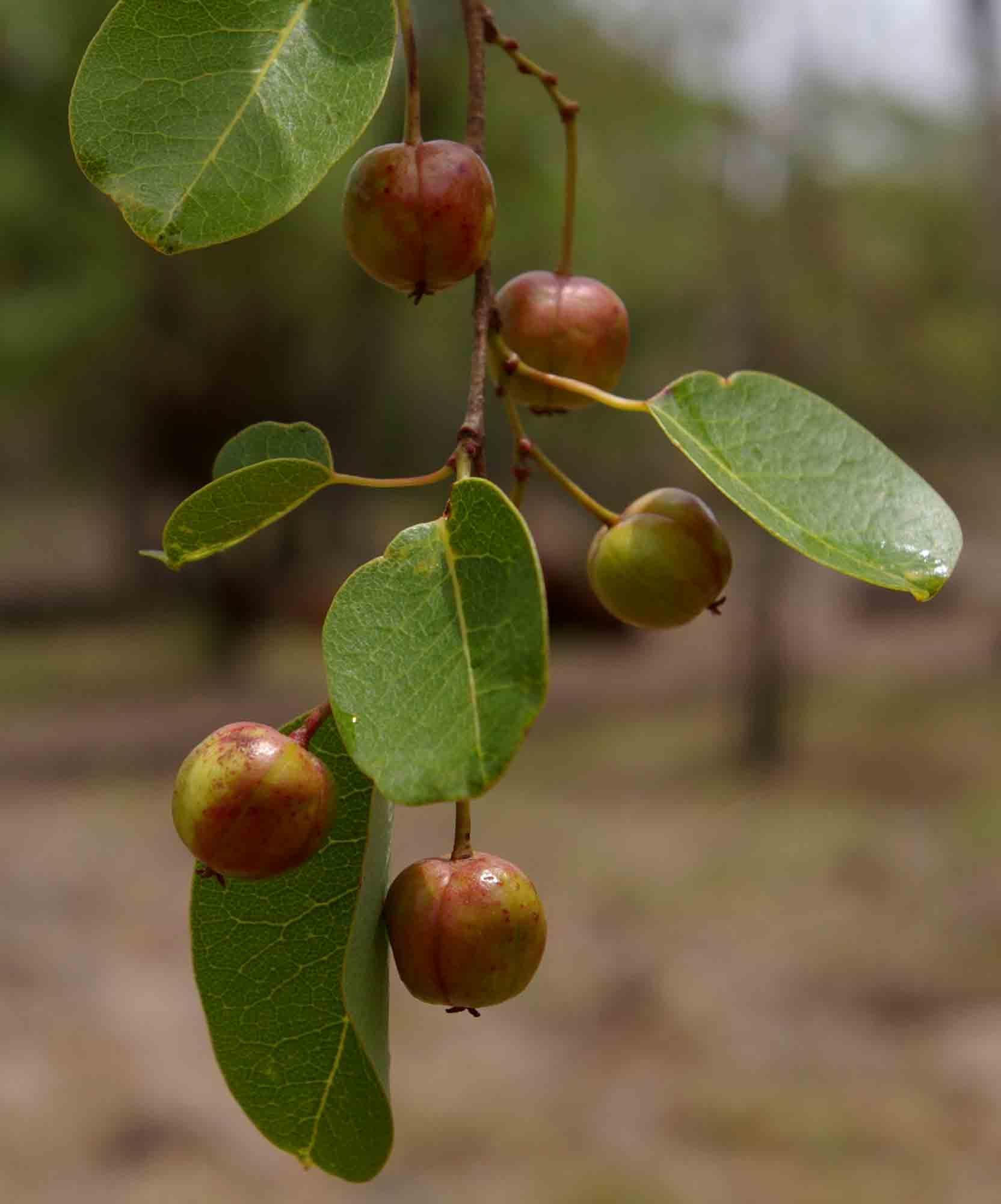 Maprounea africana