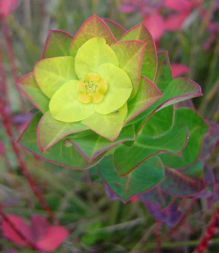 Euphorbia citrina