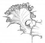Euphorbia cooperi var. calidicola