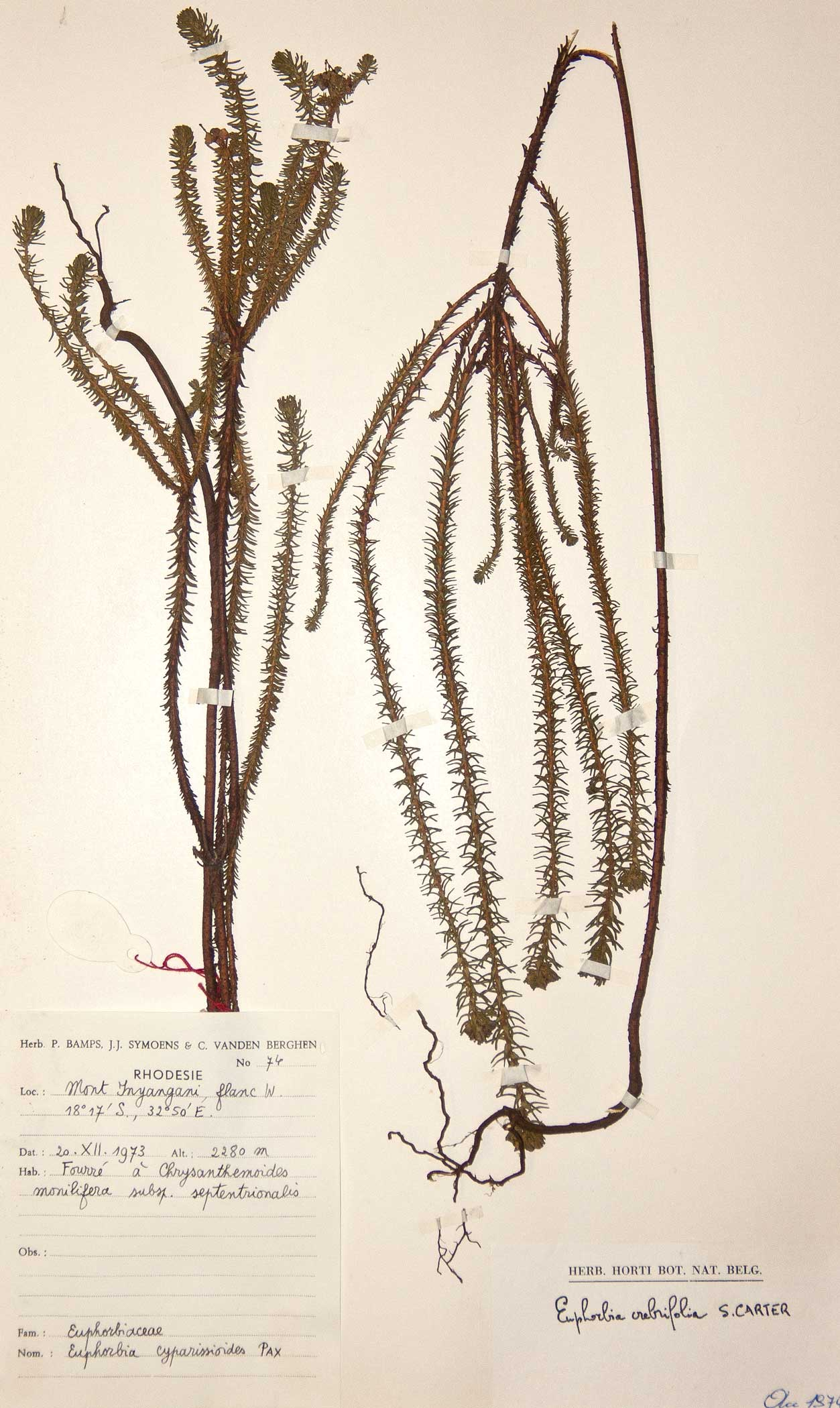 Euphorbia crebrifolia